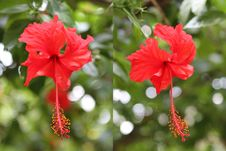 Free Hibiscus Stock Photography - 34643602