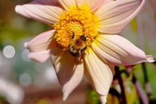 Free Bee On A Flower Stock Photography - 34648042