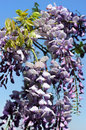 Free Bright Purple Flowers Of Wisteria Royalty Free Stock Images - 34652689