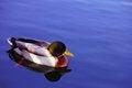 Free Duck Swimming Stock Photo - 34659880