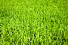 Free Green Texture Of Rice Field Stock Photo - 34656940