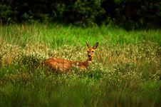 Free Doe Deer. Stock Images - 34657624
