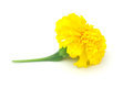 Free Single Marigold Royalty Free Stock Photos - 34663388