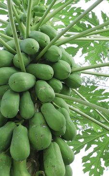 Free Papaya Tree Royalty Free Stock Images - 34680219