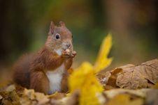 Free Squirrel Stock Image - 34680621