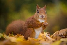 Free Squirrel Royalty Free Stock Image - 34680736