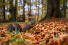 Free Squirrel Royalty Free Stock Images - 34680849