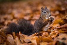 Free Squirrel Royalty Free Stock Photos - 34680918