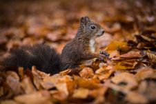 Free Squirrel Stock Images - 34680964