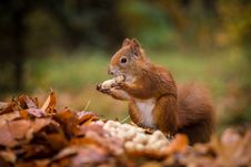 Free Squirrel Royalty Free Stock Images - 34681059