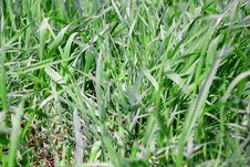 Free Green Grass Texture Stock Image - 34682481