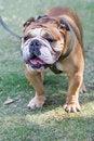 Free French Bulldog Royalty Free Stock Image - 34693576