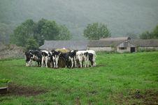 Friesian Cattle Feeding Royalty Free Stock Photos