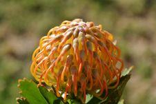 Free Pincushion Protea Royalty Free Stock Photo - 34695775