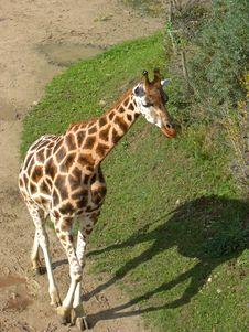 Free Giraffe Stock Image - 34696261