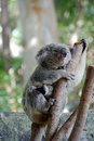 Free Koala Bear Stock Image - 3470341