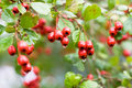 Free Red Berries Stock Photo - 3471380