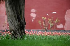 Free Tulips, Old Tree And Wall Royalty Free Stock Image - 3470916