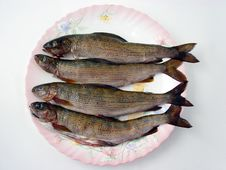 Free Four Grayling Fishes On The Po Stock Images - 3471064