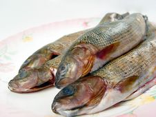 Free Closeup Four Grayling Fishes Royalty Free Stock Photos - 3471078