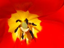 Free Tulip-0005 Stock Photo - 3471370