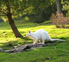 Free Breakfast For Wallabies 2 Stock Images - 3472824