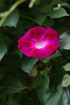 Morning Glory (4) Royalty Free Stock Photo
