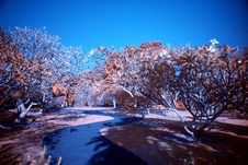 Infrared Photo – Tree And Path Stock Image