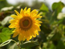 Free Sunflower Royalty Free Stock Image - 3475146