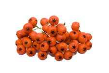 Red Viburnum Fruits Royalty Free Stock Images