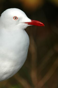 Gull Image Stock Image