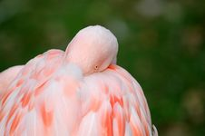 Free Pink Flamingo Royalty Free Stock Photography - 3476447