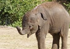 Free Baby Elephant Royalty Free Stock Photo - 3477565