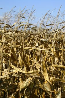 Free Dry Corn Stalks Stock Photo - 3477590