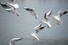 Free Seagulls Royalty Free Stock Images - 3478309