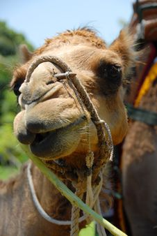 Free Camel Stock Photos - 3479233