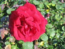 Free Red Roses Stock Photography - 34702512
