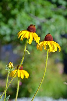 Two Yellow Echinacea Flowers Royalty Free Stock Images