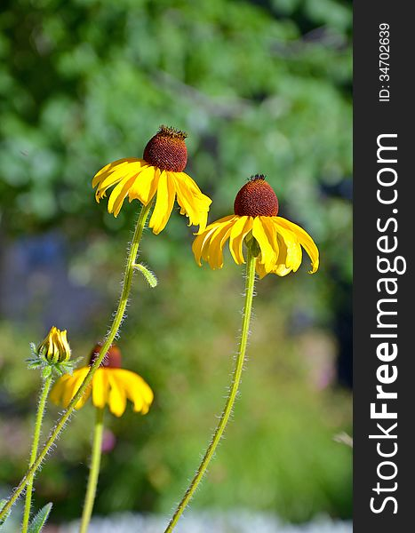 Two yellow echinacea flowers