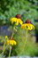 Free Two Yellow Echinacea Flowers Royalty Free Stock Images - 34702639