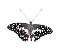 Free Beautiful Common Lime Butterfly Or Lime Swallowtail Isolated Stock Photos - 34710663