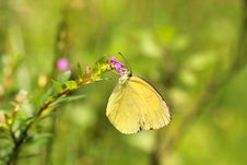 Grass Yellow Or Common Grass Yellow &x28;Eurema Hecabe&x29; Butterfly