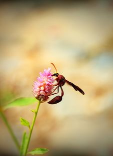 Brown Wasp Searching For Nectar On A Pink Flower In A Garden Royalty Free Stock Photo