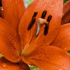 Raindrops On Lily Royalty Free Stock Photography