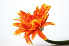 Free Orange Gerbera Flower Closeup Background Stock Photos - 34718183