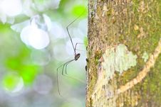 Free Harvestman Spider Or Daddy Longlegs Stock Image - 34719321