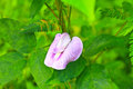 Free Pea Flower Or Butterfly Pea Stock Photo - 34723310