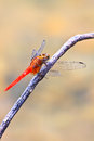 Free Red Dragonfly On Tree Branch Stock Images - 34724224
