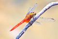 Free Red Dragonfly On Tree Branch Royalty Free Stock Photography - 34724347