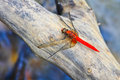 Free Red Dragonfly On Tree Branch Stock Photography - 34724492
